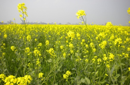 Wild Mustard Greens A