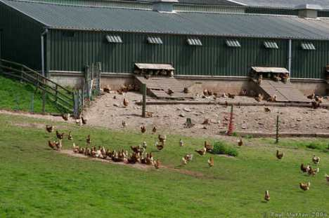 Eggs Free-Range-Chicken-Farm
