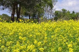 Wild mustard bloom